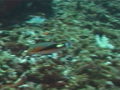 Fish | Wrasses | Blackwedge Tuskfish | Wide Shot Stock Footage