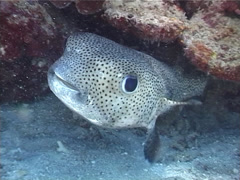 Spotted porcupine fish hovering, Diodon hystrix, UP4911 Stock Footage