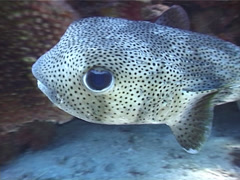 Spotted porcupine fish swimming, Diodon hystrix, UP4912 Stock Footage