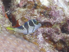 Black-saddle toby swimming, Canthigaster valentini, UP4920 Stock Footage
