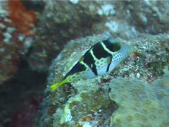 Black-saddle toby feeding, Canthigaster valentini, UP4921 Stock Footage