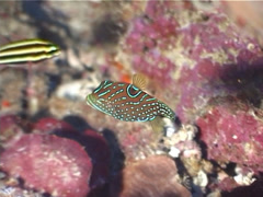 Papuan toby swimming, Canthigaster papua, UP4951 Stock Footage