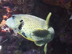 Map pufferfish swimming, Arothron mappa, UP4958 Stock Footage