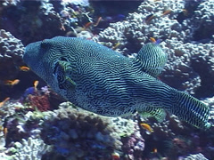 Map pufferfish swimming, Arothron mappa, UP4960 Stock Footage