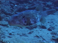 Map pufferfish swimming, Arothron mappa, UP4962 Stock Footage