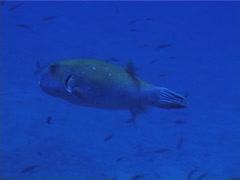 Blue-spotted pufferfish swimming, Arothron caeruleopunctatus, UP4968 Stock Footage