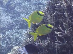 Masked rabbitfish swimming, Siganus puellus, UP4972 Stock Footage