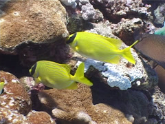 Masked rabbitfish swimming, Siganus puellus, UP4978 Stock Footage