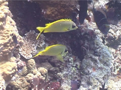 Coral rabbitfish swimming, Siganus corallinus, UP4980 Stock Footage