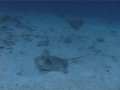 Kuhl's Ray swimming, Neotrygon kuhlii, UP4993 Stock Footage