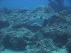 Kuhl's Ray swimming, Neotrygon kuhlii, UP4994 Stock Footage
