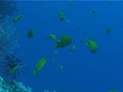 Fish | Trumpetfish | Trumpetfish | Hunting | Zoom In Shot Stock Footage