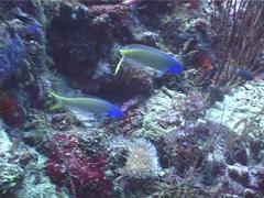 Bluehead tilefish swimming, Hoplolatilus starcki, UP5016 Stock Footage