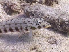 Latticed sandperch, Parapercis clathrata, UP5019 Stock Footage