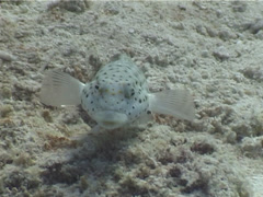 Speckled sandperch, Parapercis hexophtalma, UP5028 Stock Footage