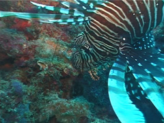 Common lionfish hovering, Pterois volitans, UP5050 Stock Footage