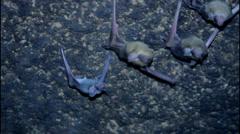 Infant bat snuggle with adult bat Stock Footage
