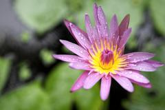 beautiful lotus flower in nature background - stock photo