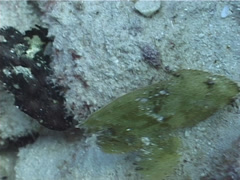 Leaf scorpionfish, Taenianotus triacanthus, UP5073 Stock Footage