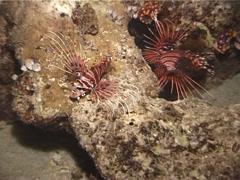 Ragged-fin lionfish swimming at night, Pterois antennata, UP5081 Stock Footage