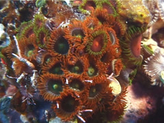 Cnidarians | Zoanthids | Fluorescent Zoanthids | Medium Shot Stock Footage