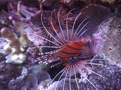 Ragged-fin lionfish swimming, Pterois antennata, UP5094 Stock Footage