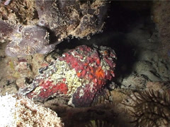 Reef stonefish at night, Synanceia verrucosa, UP5099 Stock Footage