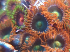 Cnidarians | Zoanthids | Fluorescent Zoanthids | Macro | Close Up Stock Footage
