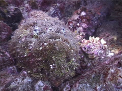Reef stonefish, Synanceia verrucosa, UP5101 Stock Footage