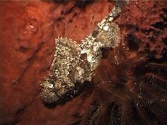 Smallscale scorpionfish at night, Scorpaenopsis oxycephala, UP5108 Stock Footage