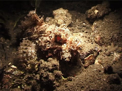 Smallscale scorpionfish at night, Scorpaenopsis oxycephala, UP5113 Stock Footage