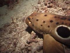 Epaulette shark walking at night, Hemiscyllium ocellatum, UP5117 Stock Footage