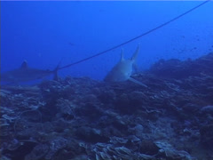 Silvertip shark swimming on deep coral reef, Carcharhinus albimarginatus, UP5121 Stock Footage