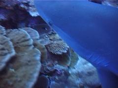 Silvertip shark swimming on deep coral reef, Carcharhinus albimarginatus, UP5123 Stock Footage