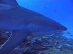 Silvertip shark swimming on deep coral reef, Carcharhinus albimarginatus, UP5124 Stock Footage