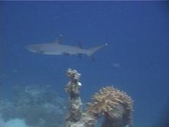 Whitetip reef shark swimming, Triaenodon obesus, UP5128 - stock footage