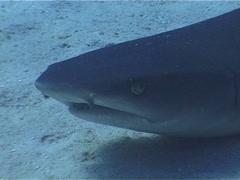 Whitetip reef shark swimming, Triaenodon obesus, UP5129 - stock footage