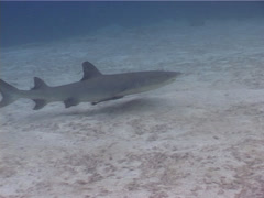 Whitetip reef shark swimming, Triaenodon obesus, UP5137 - stock footage