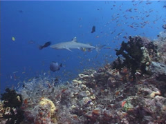 Whitetip reef shark swimming, Triaenodon obesus, UP5141 Stock Footage