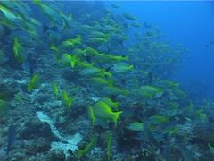 Bigeye snapper swimming and schooling, Lutjanus lutjanus, UP5158 Stock Footage