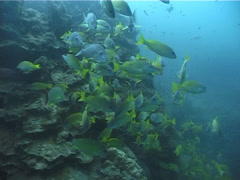 Bigeye snapper swimming and schooling, Lutjanus lutjanus, UP5165 Stock Footage