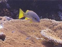 Blackspot snapper swimming, Lutjanus fulviflamma, UP5170 Stock Footage