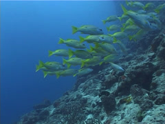 Blackspot snapper swimming and schooling, Lutjanus fulviflamma, UP5172 Stock Footage