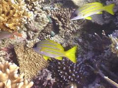 Common bluestripe snapper swimming and schooling, Lutjanus kasmira, UP5174 Stock Footage