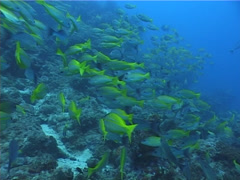 Moses perch schooling and schooling, Lutjanus russellii, UP5186 Stock Footage