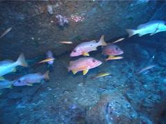Onespot seaperch schooling and schooling, Lutjanus monostigma, UP5187 Stock Footage