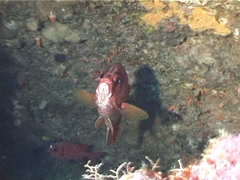 Sabre squirrelfish hovering in cavern, Sargocentron spiniferum, UP5209 Stock Footage