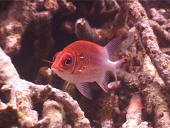 White-tail squirrelfish hovering, Sargocentron caudimaculatum, UP5211 Stock Footage