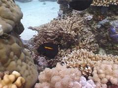Orangeband surgeonfish feeding, Acanthurus olivaceus, UP5231 Stock Footage