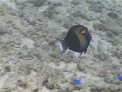 Orangeband surgeonfish swimming, Acanthurus olivaceus, UP5232 Stock Footage
